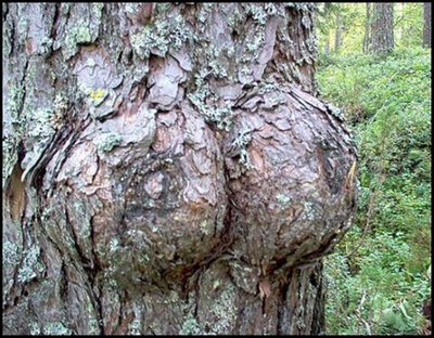 female_20tree.jpg